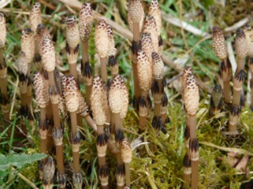 young-horsetail